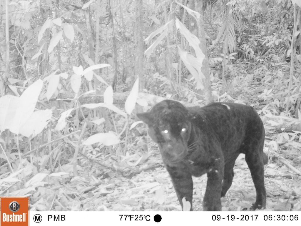 Registro de jaguar melánico (Panthera onca) a 13 km al este de Malvinas (setiembre 2017)