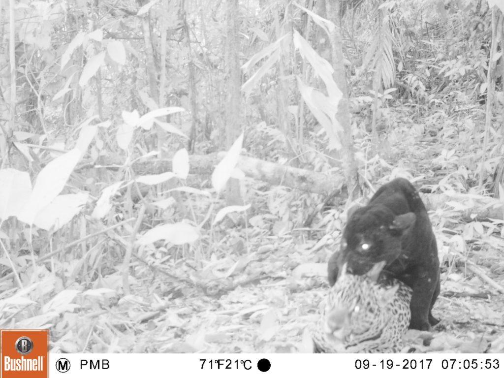 Registro de pareja de jaguares (Panthera onca) a 13 km al este de Malvinas (setiembre 2017)